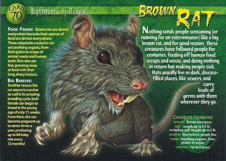 Brown Rat front