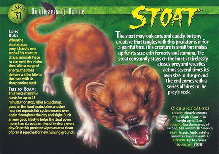 Stoat front