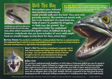 Northern Snakehead back