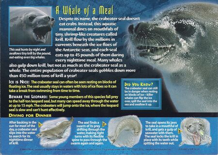 Crabeater Seal back
