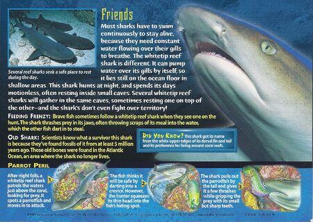 Whitetip Reef Shark back