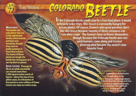 Colorado Beetle front