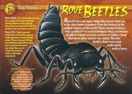 Rove Beetles front