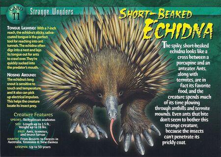 Short-Beaked Echidna front