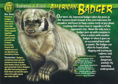American Badger front