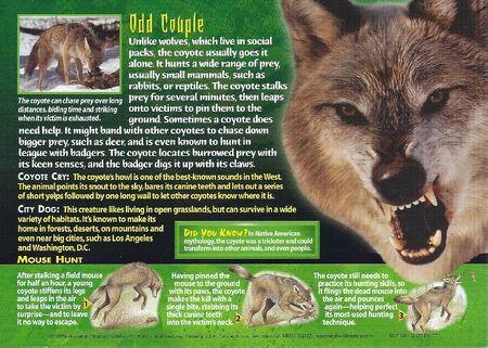Coyote back