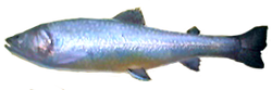 Brook Trout AD