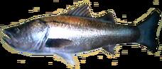 Sea Bass AD