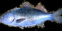 White Perch