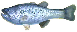 File:Black Bass AD.png
