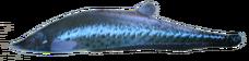 RoyalKnifeFish