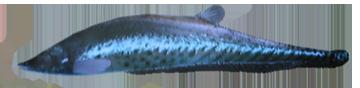 File:RoyalKnifeFish.png