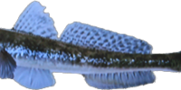 Yellowfin Goby