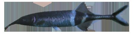 File:ElephantnoseFish.png