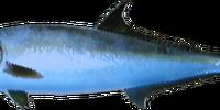 Longfin Yellowtail