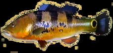 Peacock Bass AD