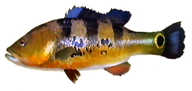 File:Peacock Bass AD.png