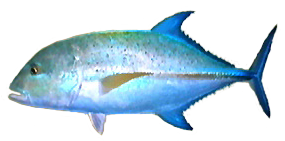File:Bluefin Trevally AD.png