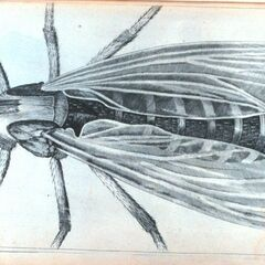 Hooke's drawing of a <a href=