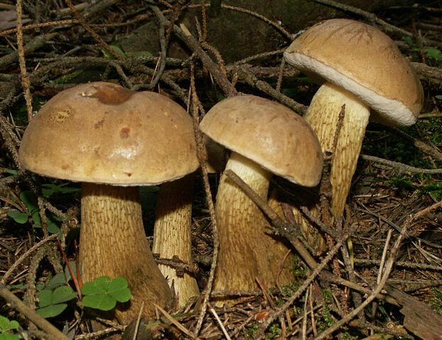 File:2006-09-14 Tylopilus felleus crop.jpg