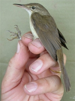 Large-billedReed-warbler