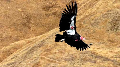 File:CaliforniaCondor.jpg