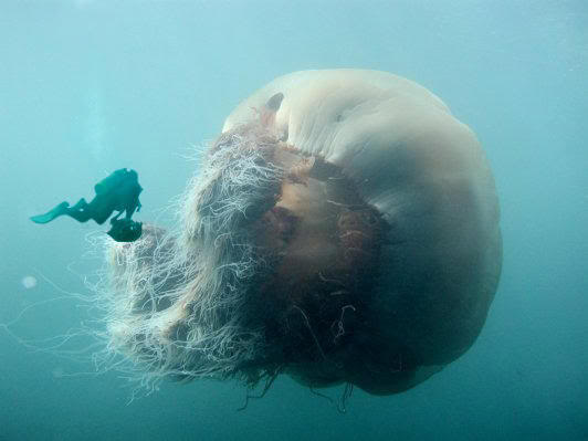 File:Biggest-and-largest-jellyfish-ive-e.jpg