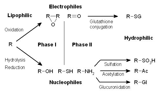 File:Xenobiotic metabolism.png