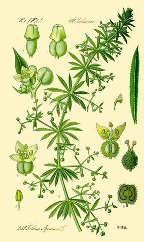 File:Galium aparine b.jpg