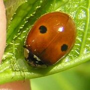 2-spotted ladybird1