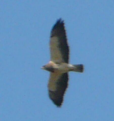 File:Swainson's hawk.jpg