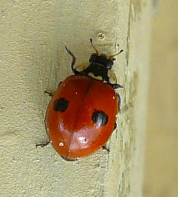File:2-spotted ladybird new.jpg