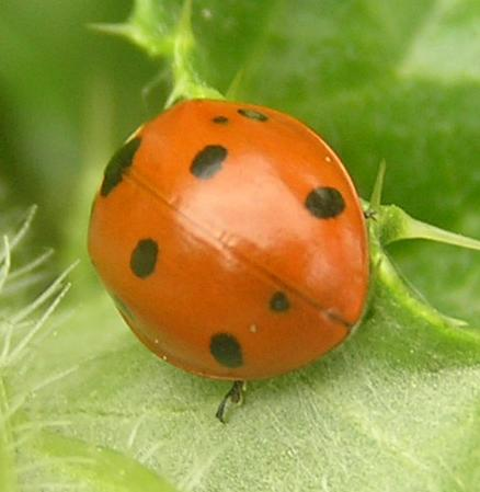 File:7-spotted ladybird4.jpg