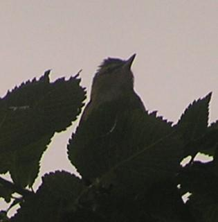 File:Red-eyed Vireo.jpg