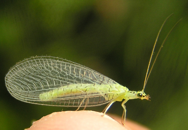 File:Chrysopa chi 2.png