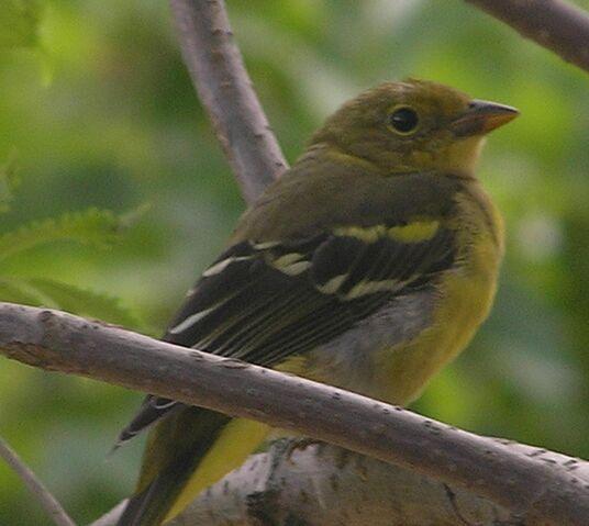 File:Western Tanager female.jpg