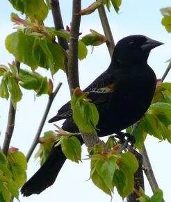 Red-winged Blackbird juv. male