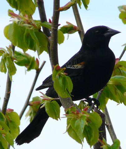 File:Red-winged Blackbird juv. male.jpg