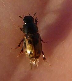 Aphodius distinctus8