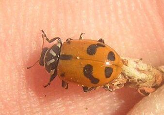Sinuate ladybird 6