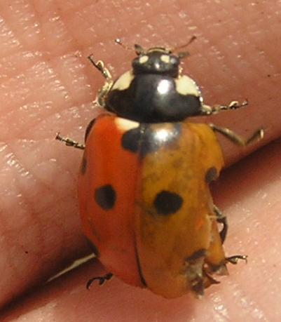 File:7-spotted ladybird2color.jpg