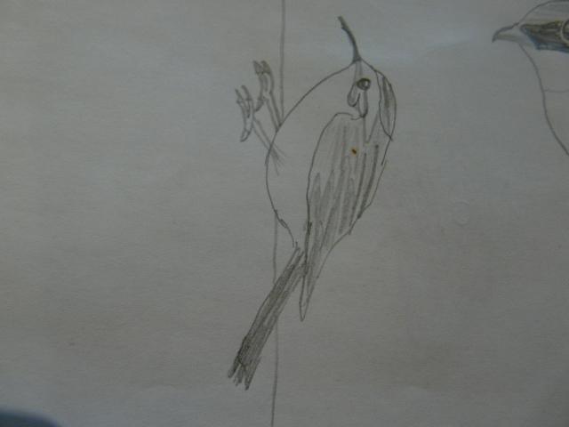 File:Brown treecreeper paper.jpg