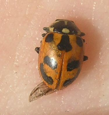 File:Parenthesis ladybird5.jpg