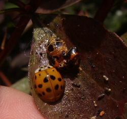 File:Harlequin ladybird 14.jpg