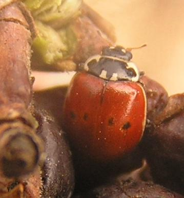 File:Two-spotted ladybird form 2.jpg