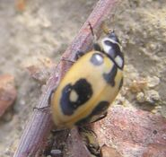 Parenthesis ladybird7