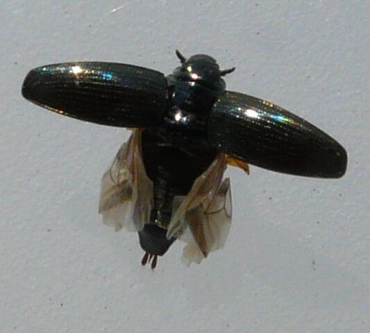 File:Gyrinus sp.2 flight.jpg
