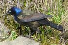 Common Grackle male1