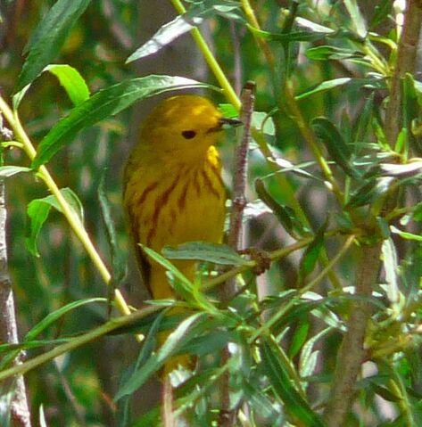 File:Yellow Warbler male.jpg