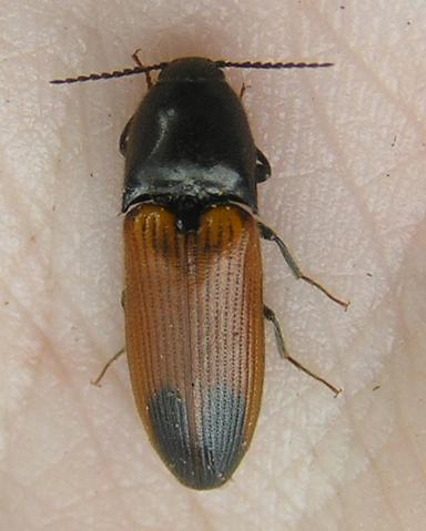 File:Ampedus apicatus.png